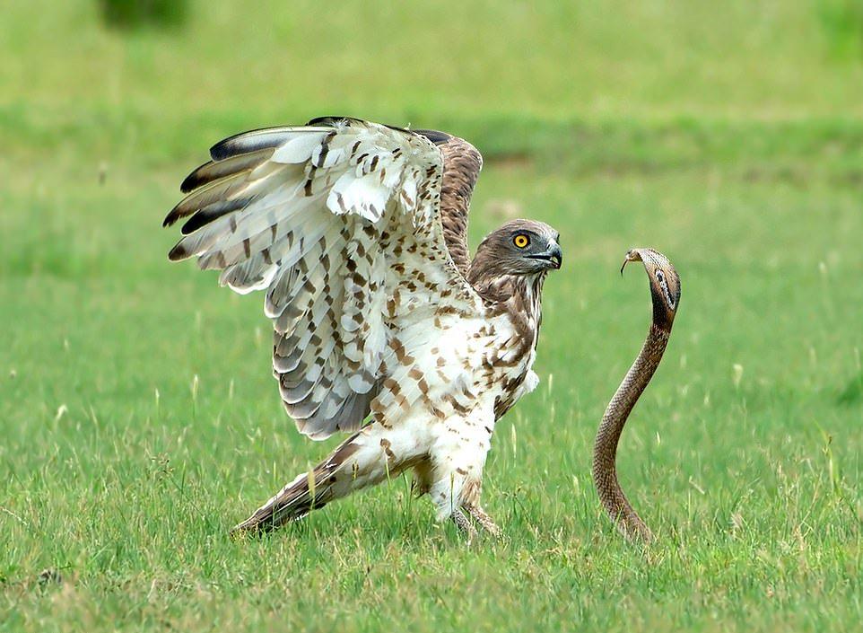 Орёл-змееяд убил и съел ядовитую кобру