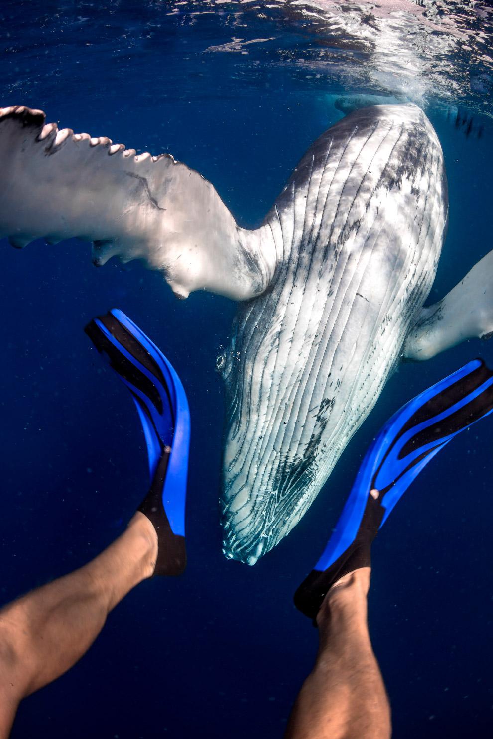 Плавание с величественными горбатыми китами