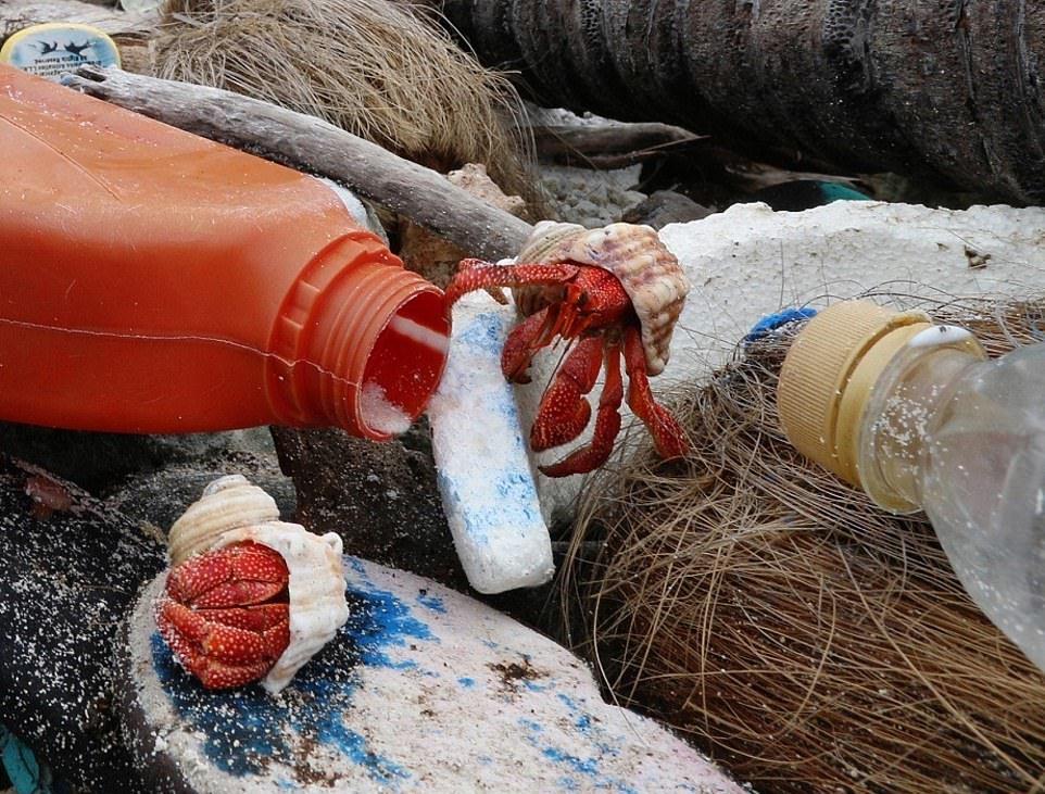 Крабы-отшельники погибают, пытаясь построить дома в пластиковом мусоре