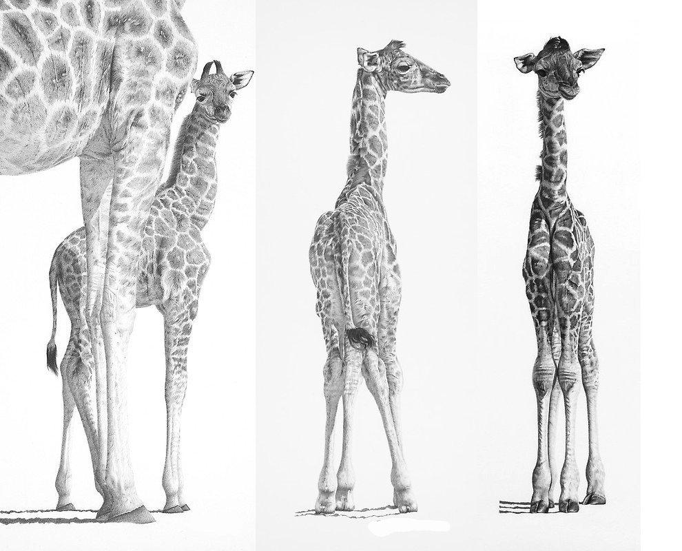 Красота животных в карандашных рисунках