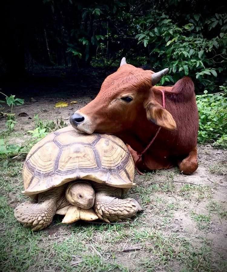 Трогательная дружба коровы и черепахи