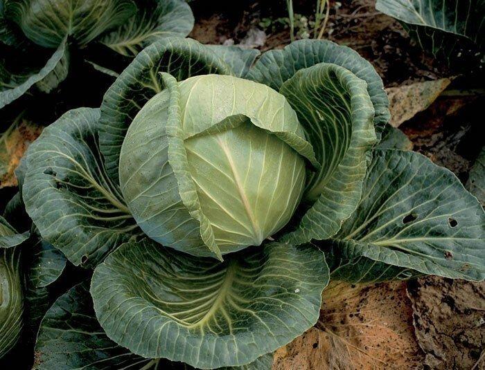 Как выглядели знакомые растительные продукты в прошлом
