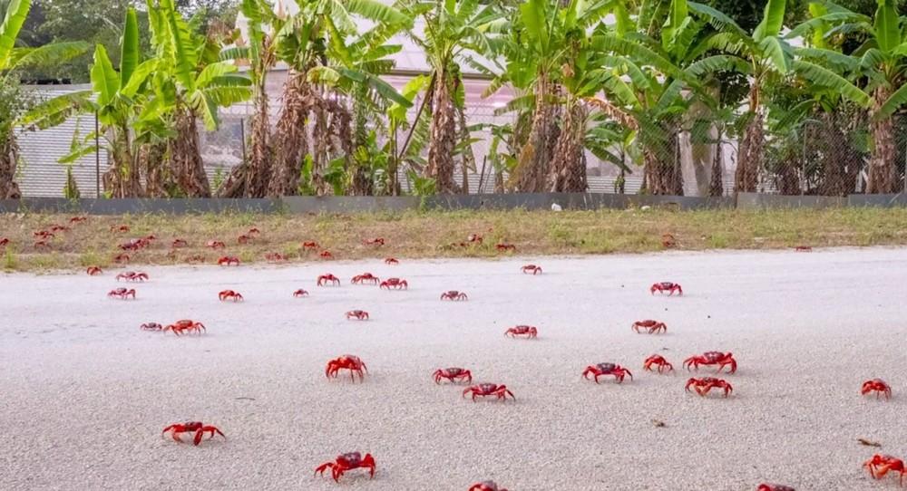 Способ передвижения во время миграции крабов на острове Рождества