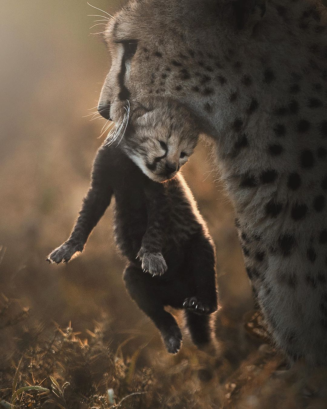 Большие кошки в объективе Шааза Джунга