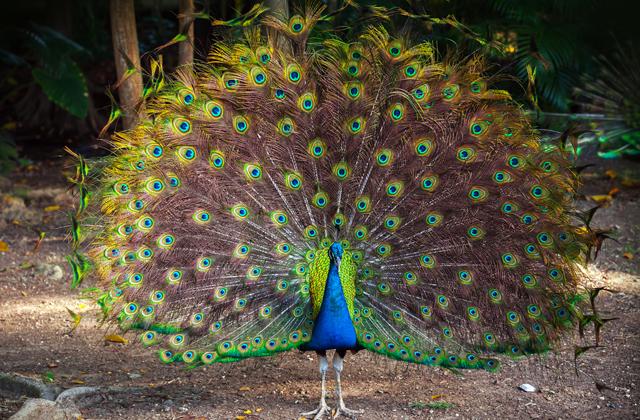 Почему в природе самцы животных выглядят ярче самок?