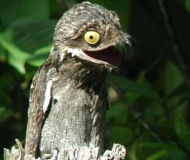 Очень забавные венесуэльские птички поту