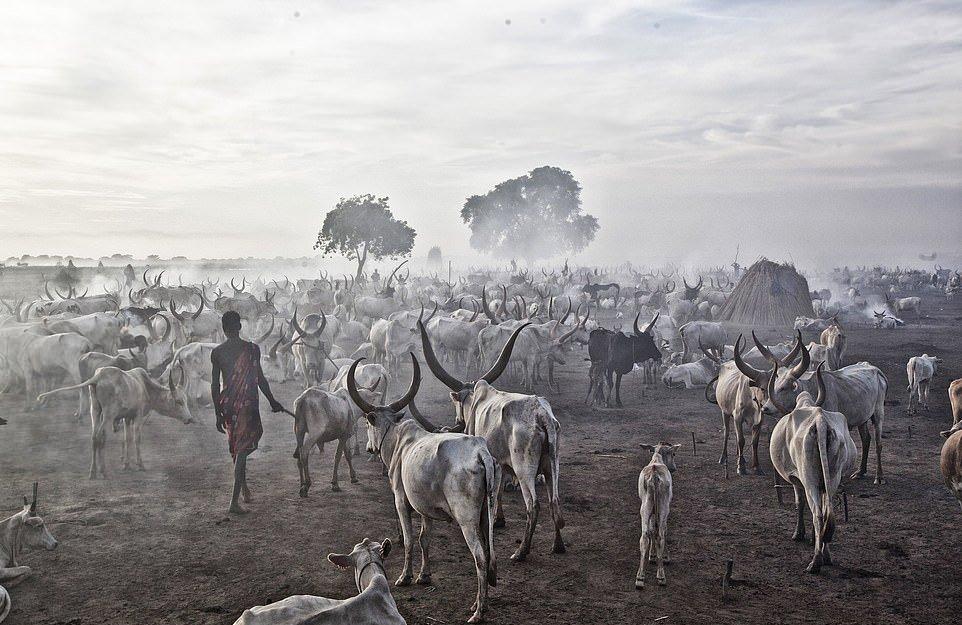 Племя Мундари использует коров в качестве валюты, источника пищи и гордости