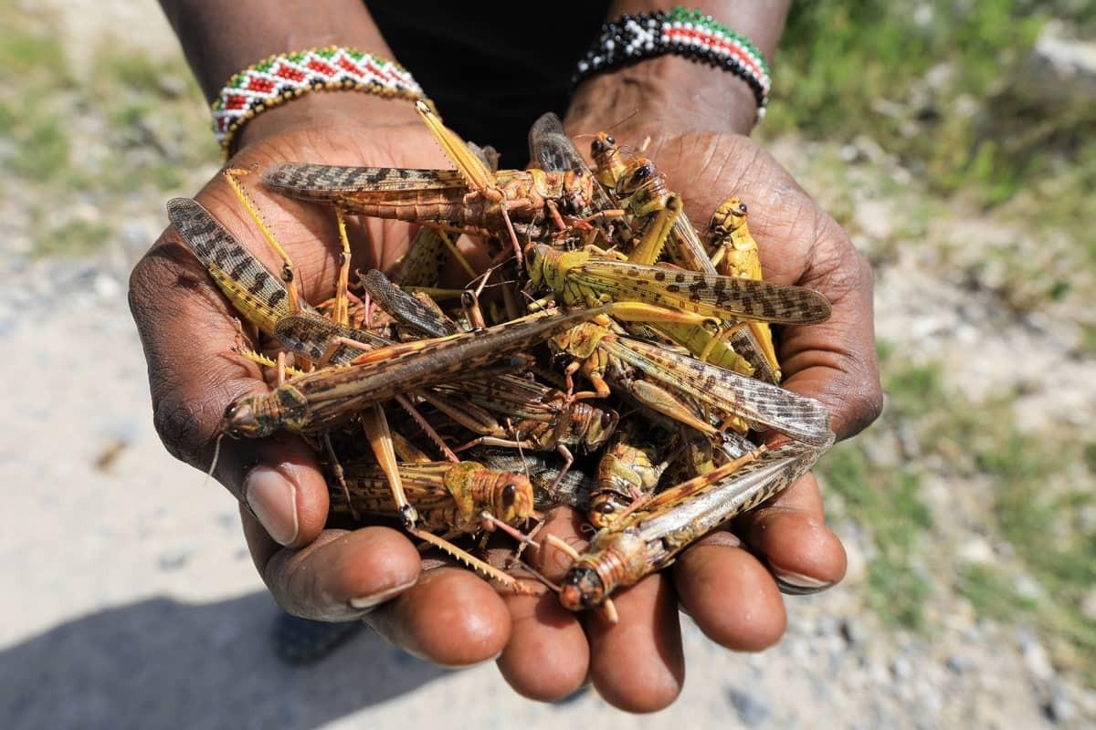 Необычное нашествие саранчи в Восточной Африке