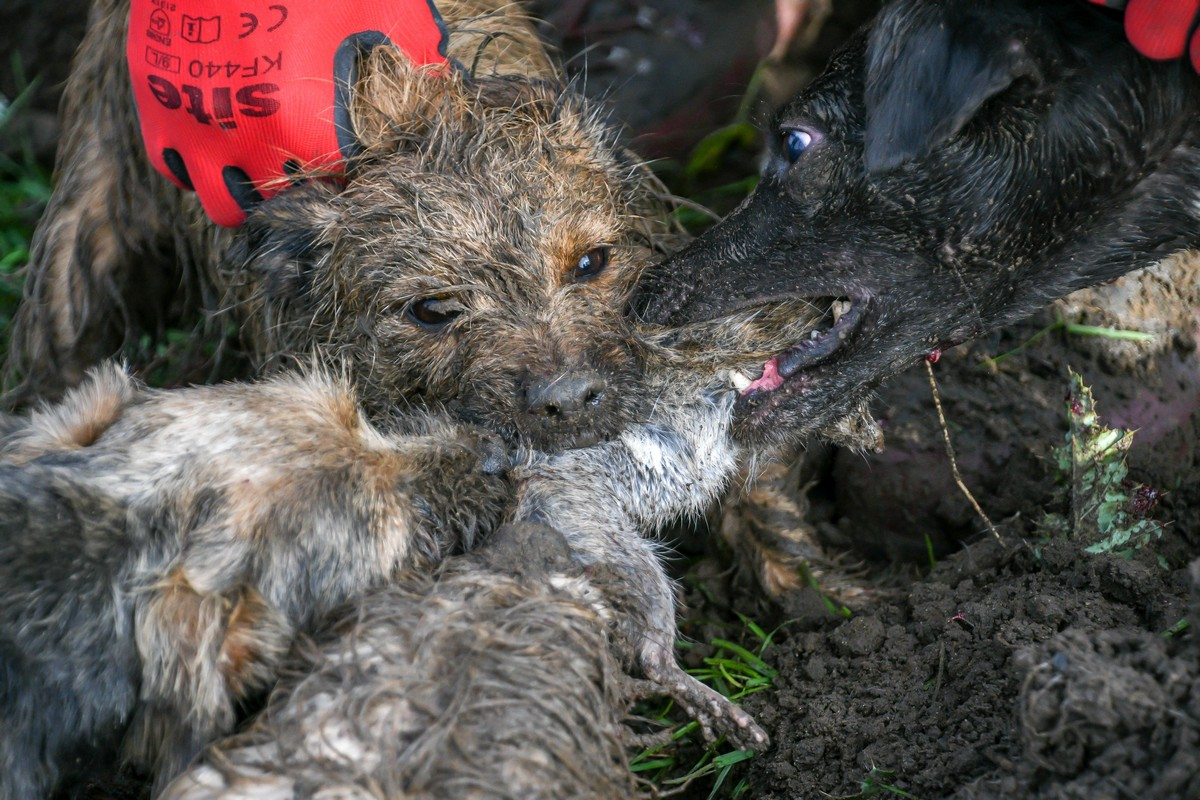 8 терьеров уничтожили 700 крыс всего за 7 часов