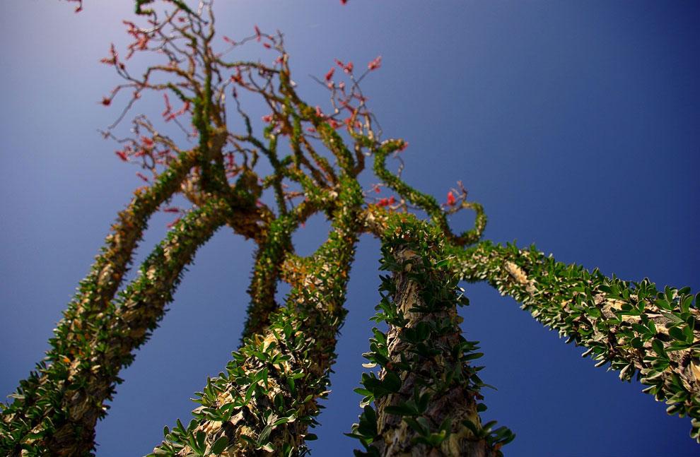 A csodálatos és hihetetlen joshua fa