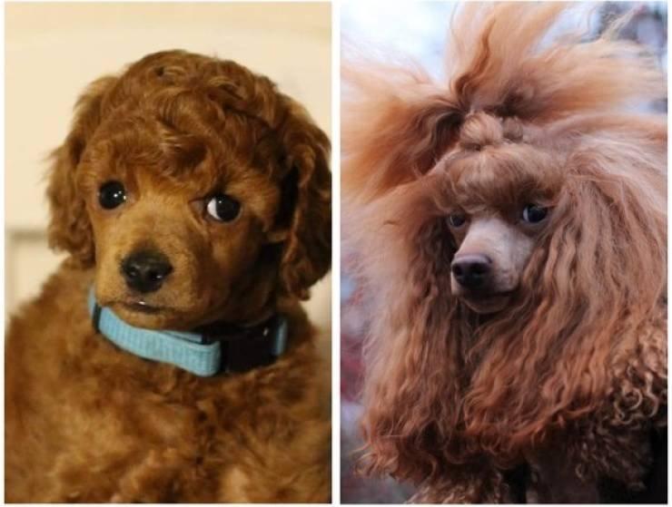 Щенки выросли в пёселей: до и после