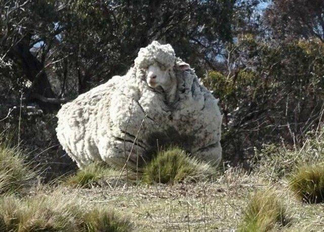 42 кг шерсти собрали с одной овцы