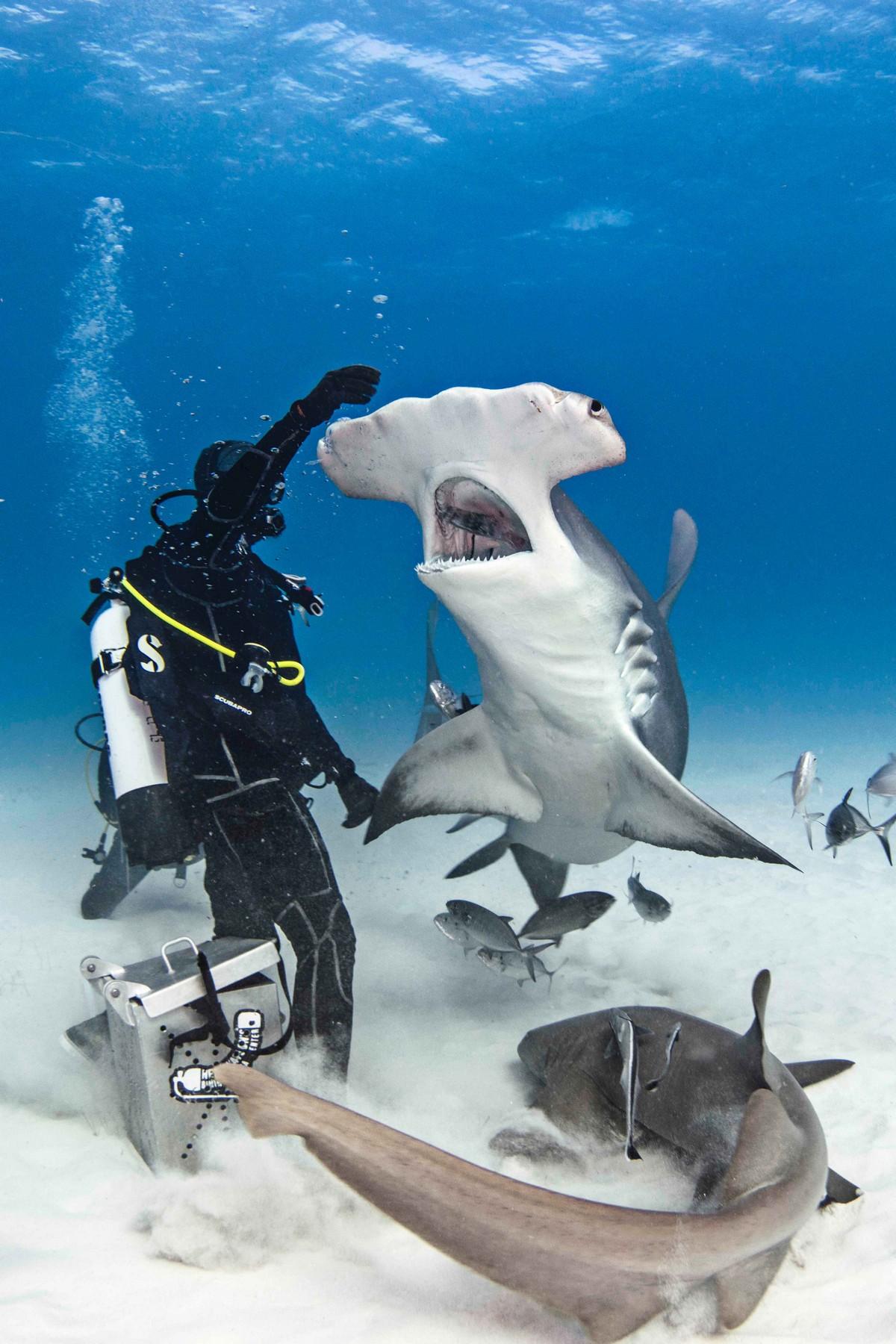 Дайверы покормили гигантскую акулу-молота