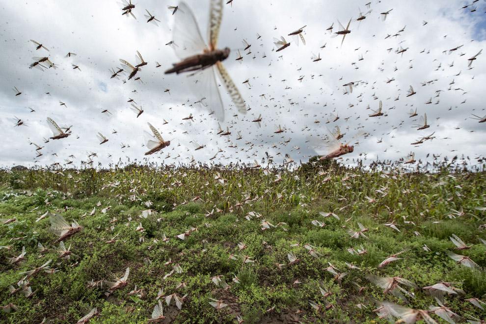 Нереальное нашествие саранчи в Кении (ФОТО)