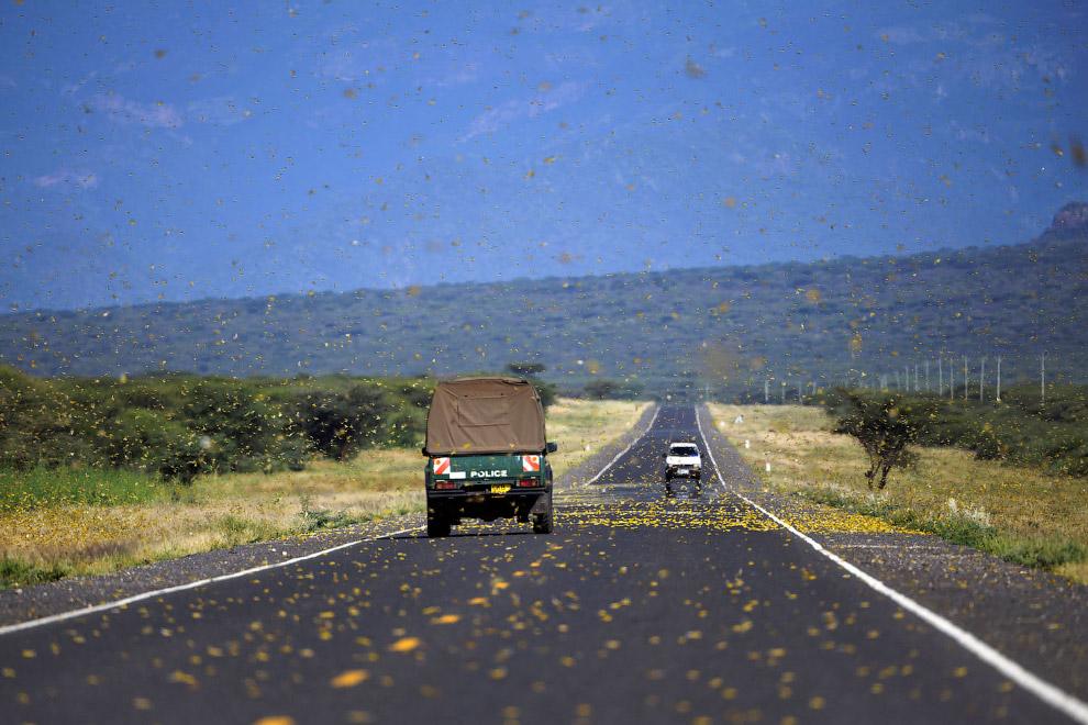 Нереальное нашествие саранчи в Кении