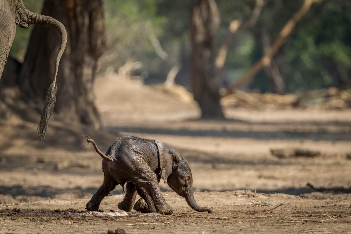 Новорожденный слоненок делает первые шаги