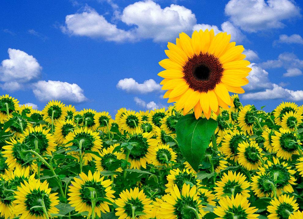 Из истории подсолнечника - цветка солнца