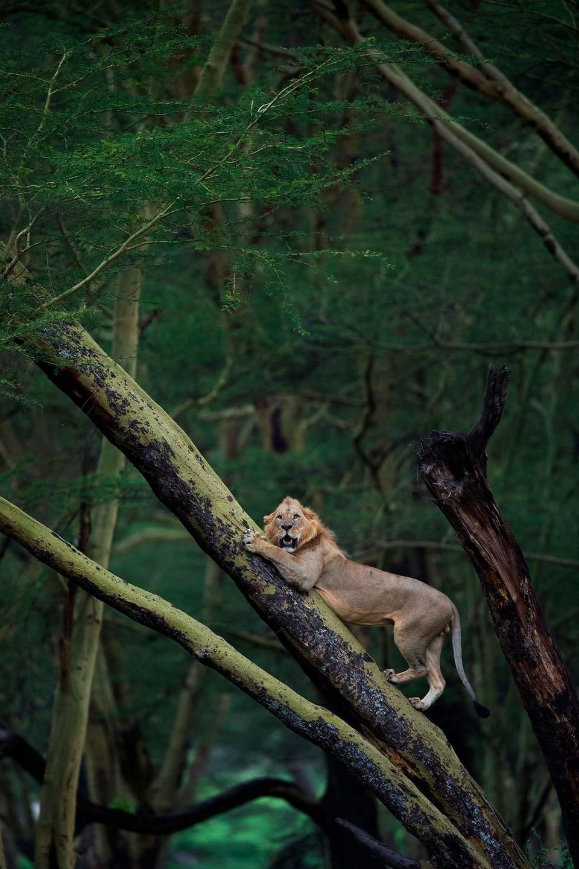 Стадо буйволов загнало льва на дерево