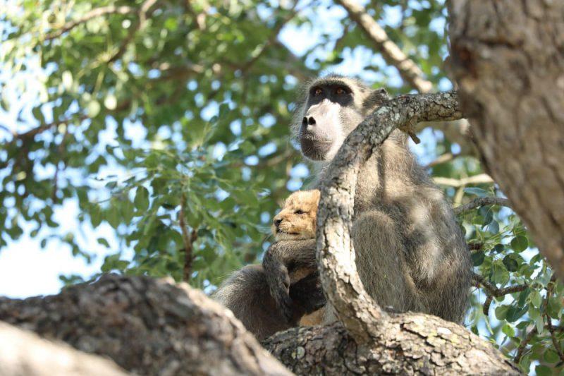 Бабуин и львёнок повторили знаменитую сцену из Короля льва