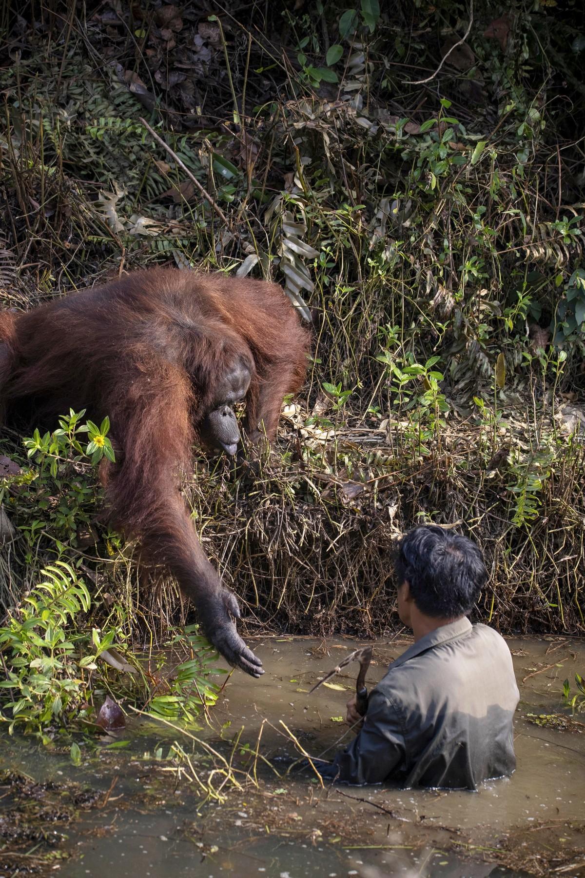 Орангутан пытался помочь стоявшему в воде мужчине
