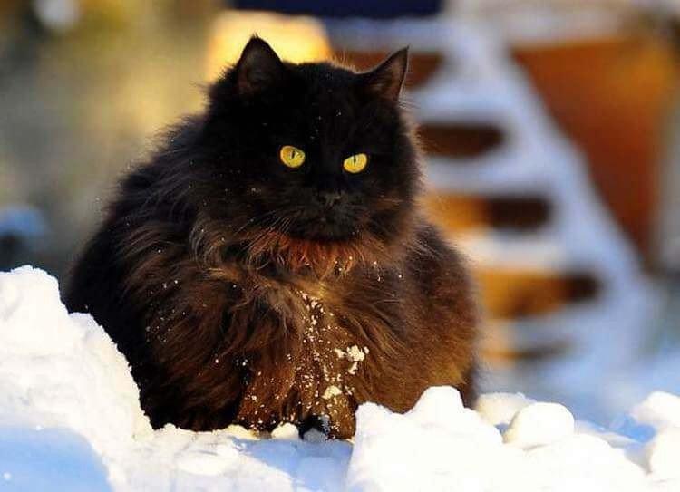 Максимально пушистые коты на снимках