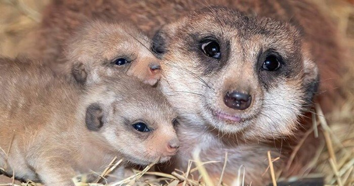 Милые снимки новорожденных сурикатов