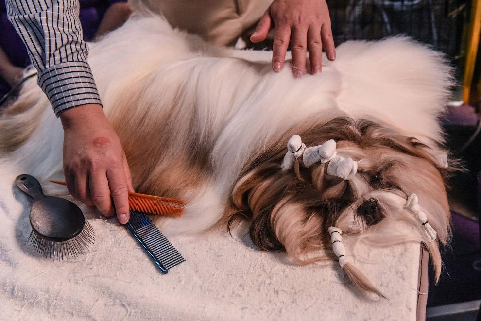Выставка собак Westminster Kennel Club 2020 прошла в США