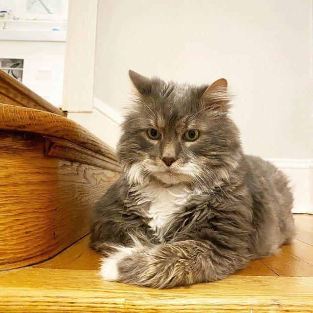 Очаровательный кот-толстопуз Уилфорд уже сидит на диете