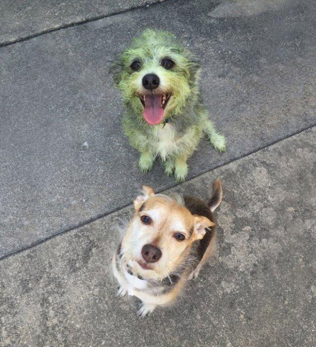 Позеленевшие пёсели после прогулки по свежескошенной траве