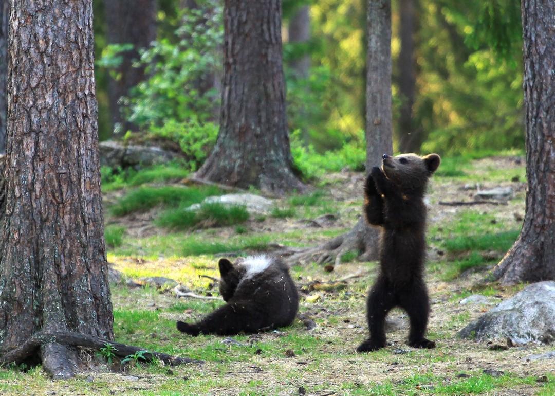 Танцующие медвежата в финском лесу