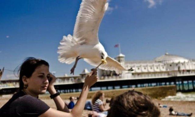 Чайки постоянно воруют еду у людей