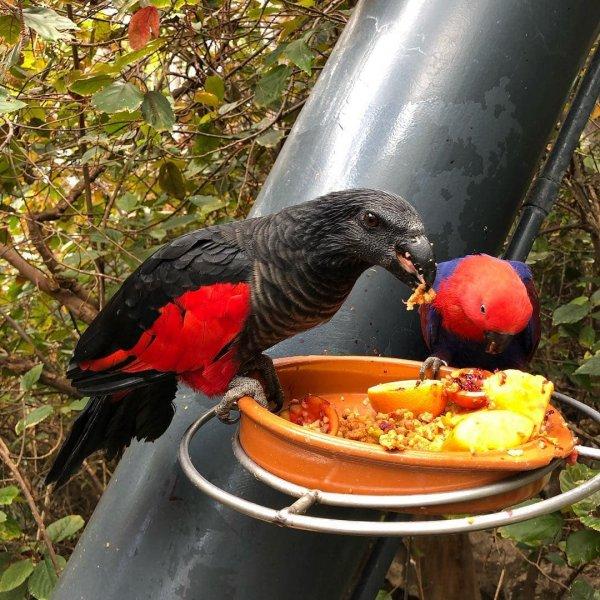 Величественный и зловещий попугай из Папуа-Новой Гвинеи
