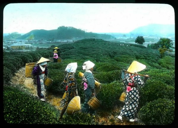 Производство чая в Японии в начале XX века