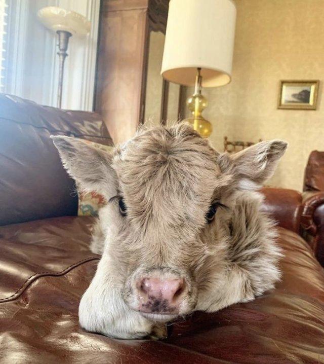 Аккаунт в Twitter, где каждый день публикуют снимки коров