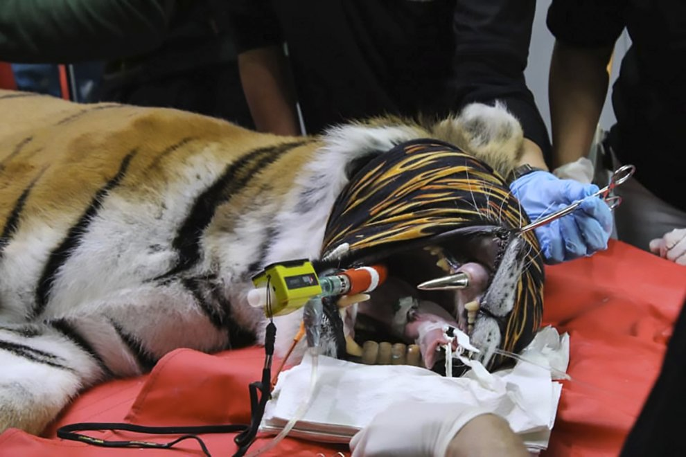Стоматологи помогли тигрице золотым зубом
