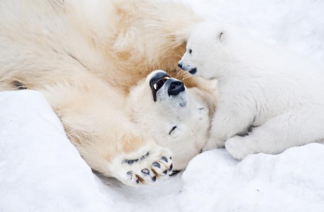 Как впадают в зимнюю спячку белые медведи