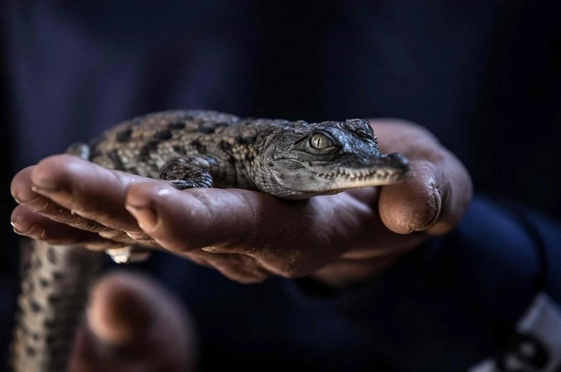 В египетской деревне держат крокодилов в качестве домашних животных