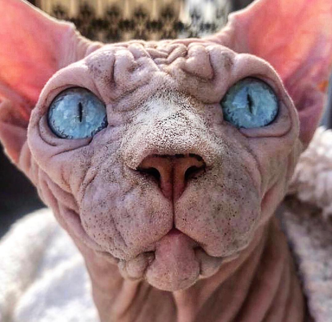 Морщинистый кот породы сфинкс покорил сердца пользователей сети