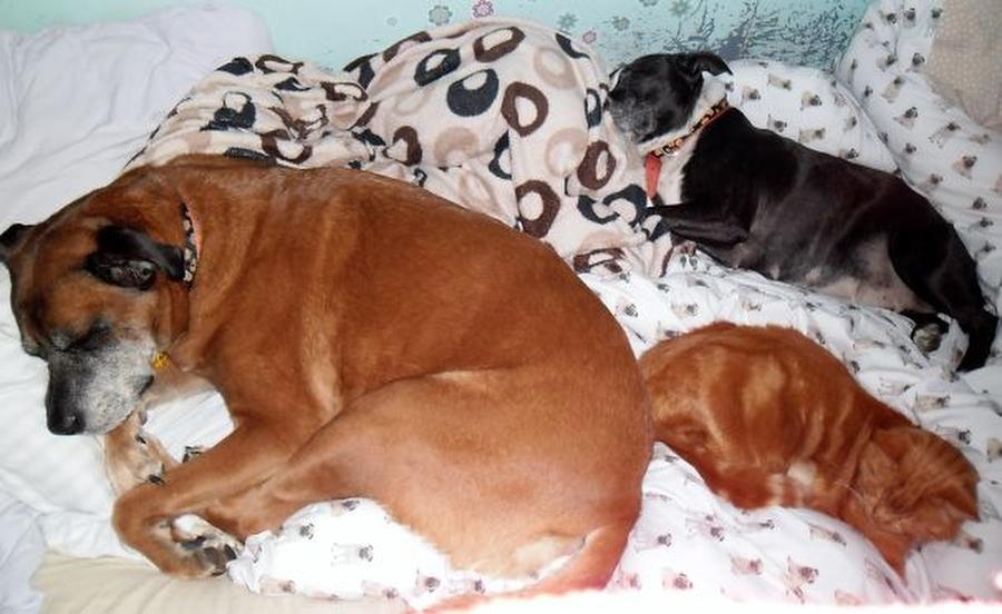 Собаки спят в хозяйской постели — могут себе позволить