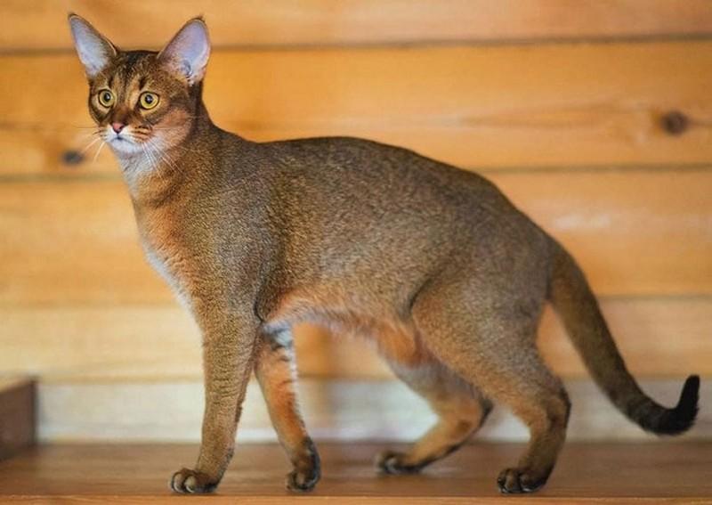 Самые большие среди домашних кошек в мире