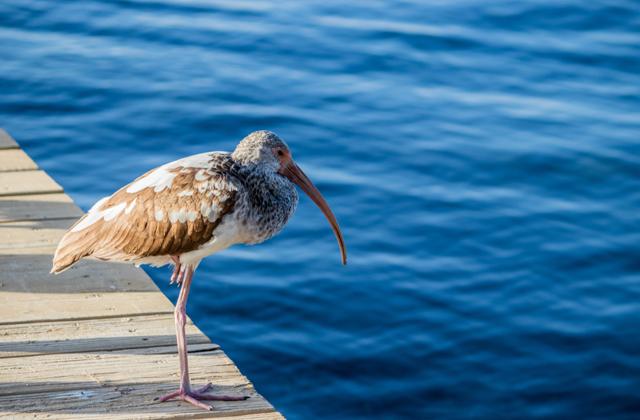 Зачем некоторые птицы стоят на одной ноге?