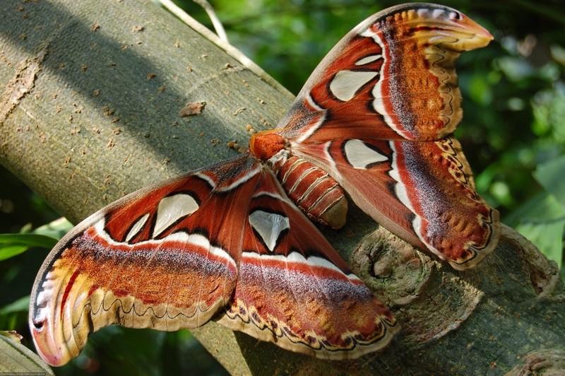 Самые большие среди бабочек в мире