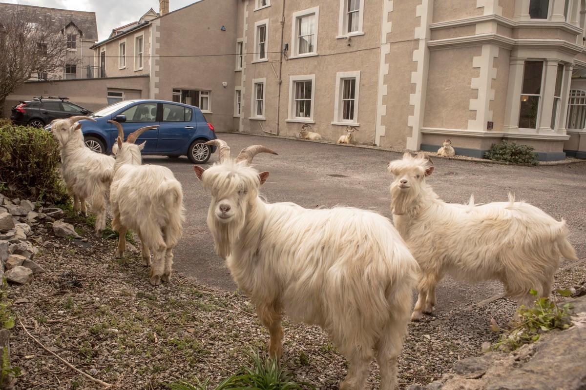Стадо коз бродило по валлийским улицам во время карантина