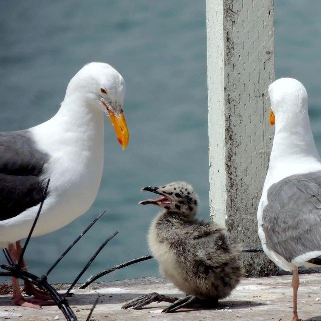 Птенцы, которые совсем не похожи на своих родителей