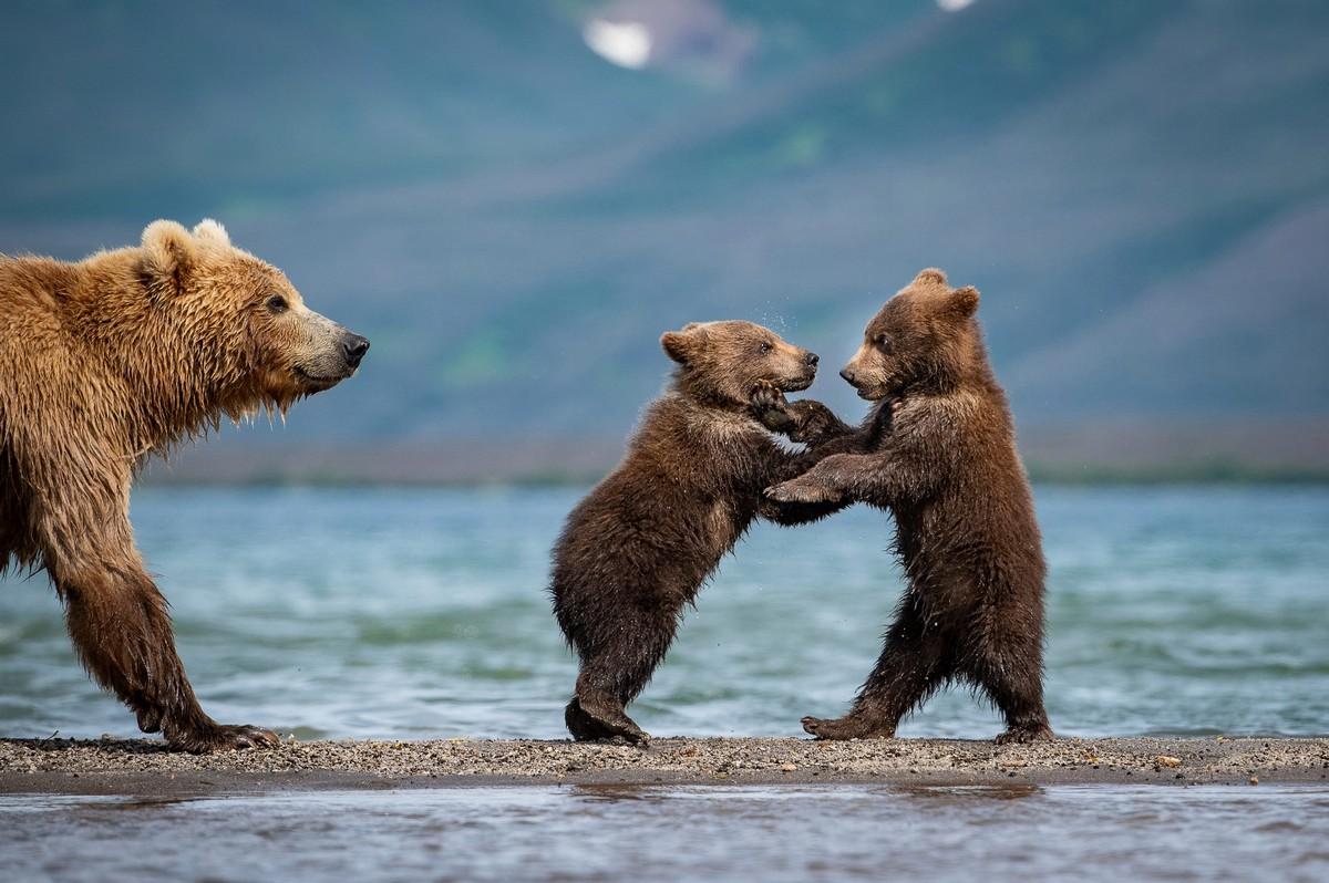Мать-медведица учит медвежат ловить рыбу на Камчатке