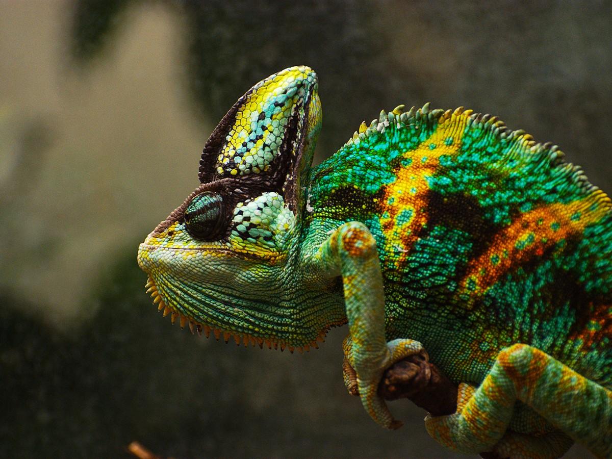 картинки хамелеона животное валюту взять