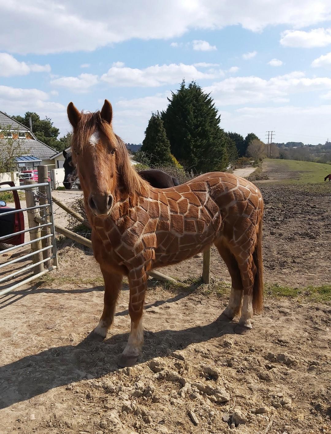 Британка подстригла лошадь под жирафа