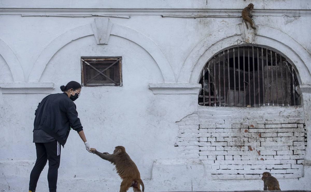 Голодные обезьяны без туристов в Катманду