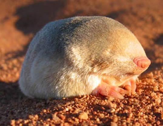 Невероятные сумчатые кроты Австралии