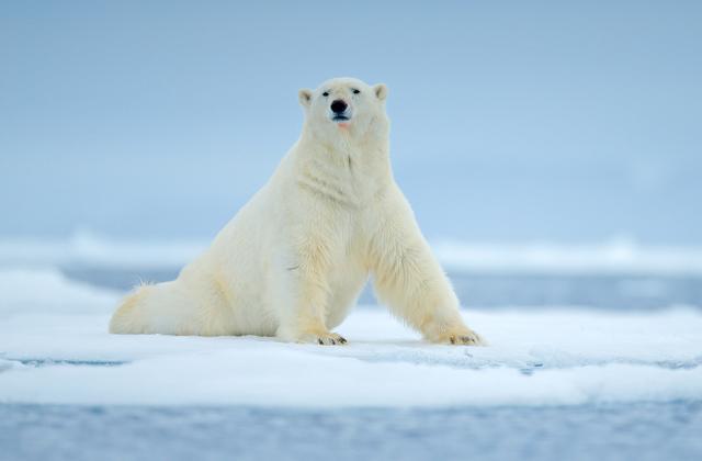 Какого же цвета шерсть белого медведя?